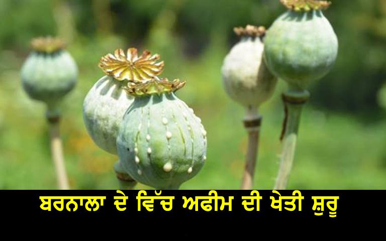 opium-cultivation-in-barnala