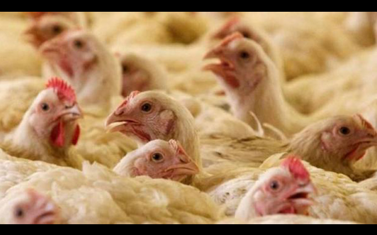 Corona Virus due to Poultry farm Chicken