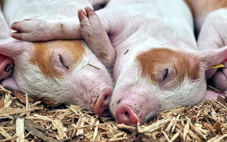 african-swine-flu-detected-in-assam