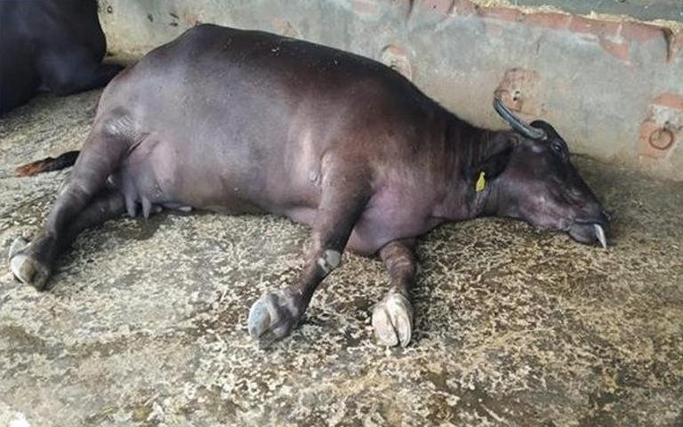 in-rao-farms-khannas-village-daheru-45-buffaloes-died-in-the-last-12-days