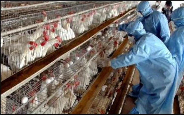 People-stop-eating-eggs-and-chicken-for-fear-of-bird-flu