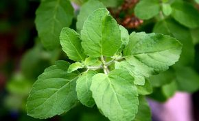 4-uses-of-holy-tulsi
