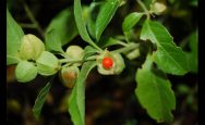 What-are-the-benefits-of-ashwagandha