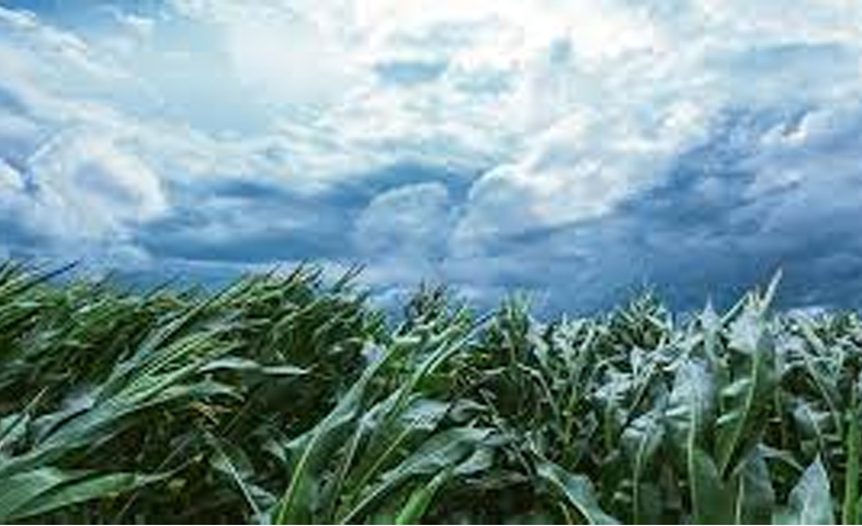 The strong winds and rains in Barnala have caused severe damage to the vegetable crop